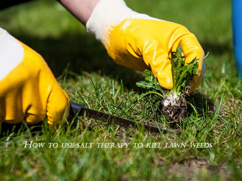 How to use salt therapy to kill lawn weeds