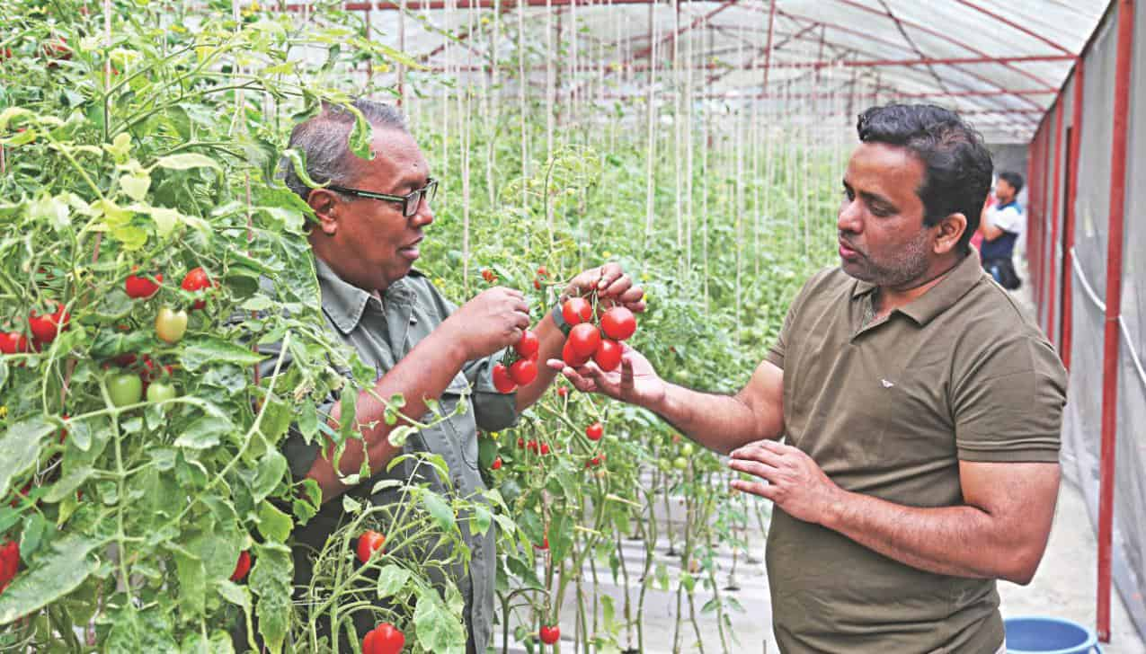 Several cultivation style of tomatoes hydroponically