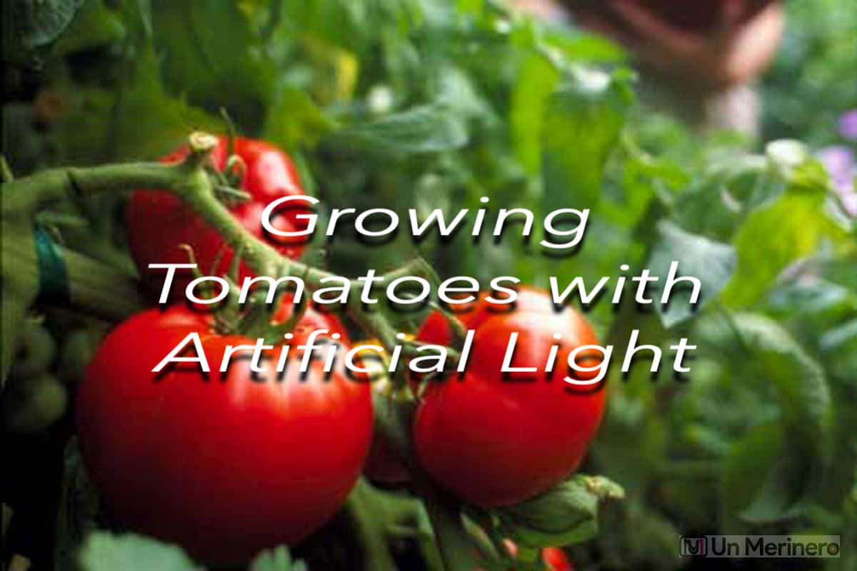 Growing tomatoes with artificial light