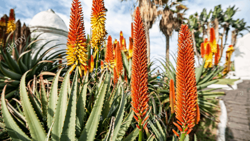 How To Bring The Aloe To Bloom?