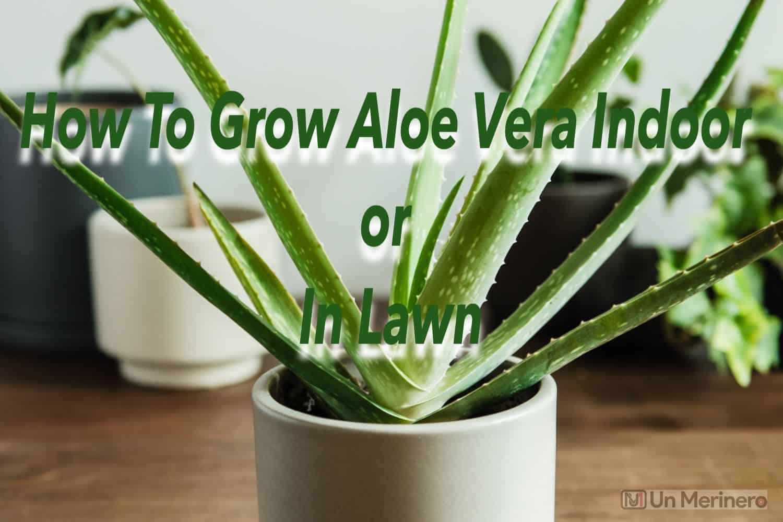 How to grow aloe vera indoors - how to grow aloe vera in small lawn