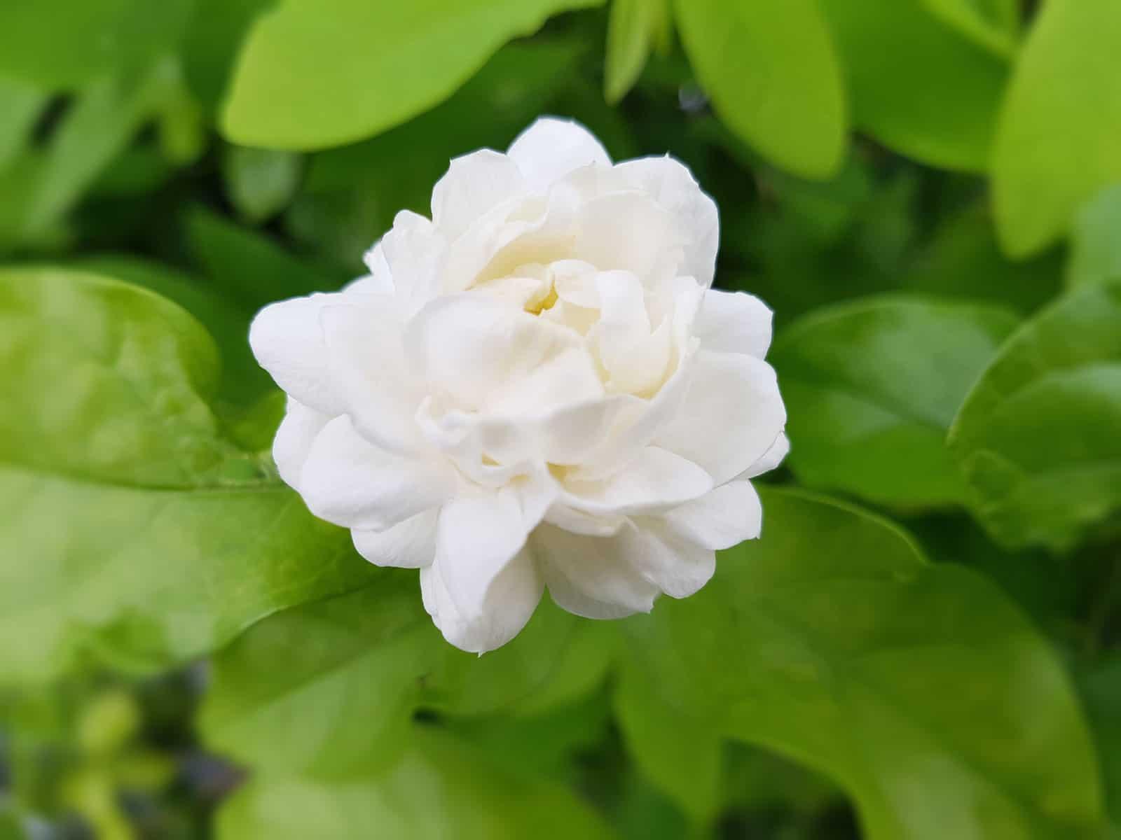 Arabian Jasmine - Best Jasmine to grow indoor