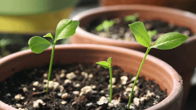 Citrus - Best citrus plant to grow indoor