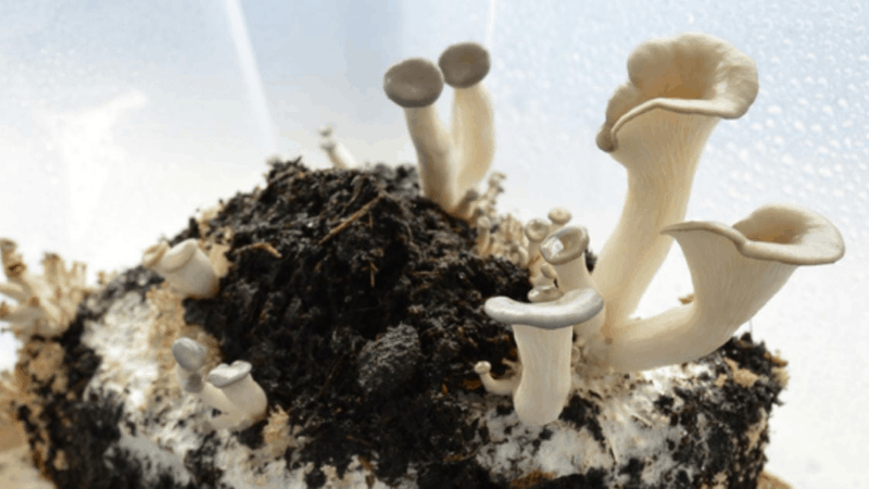 Coffee Grinds For Oyster Mushrooms