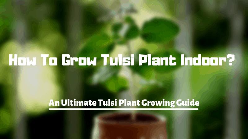 How To Grow Tulsi Plant Indoor?