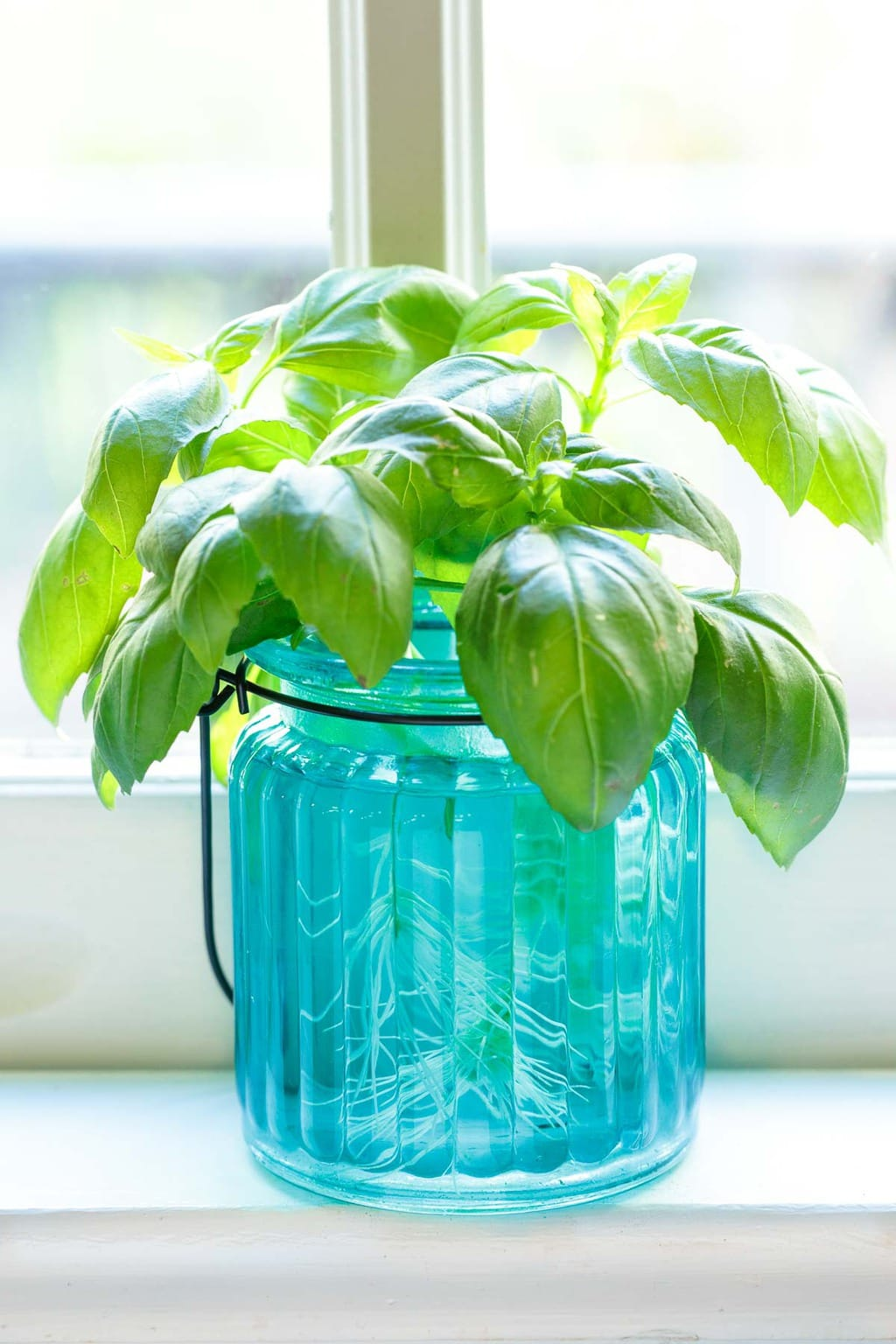 How to Grow Tulsi plant In Water - Put the plant in water