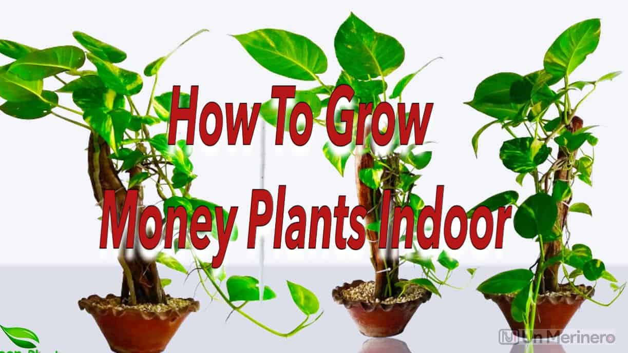 How to grow money plant indoorsHow to grow money plant indoors