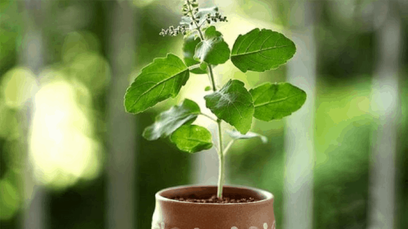 What Are The Important Facts of Growing Tulsi plant?
