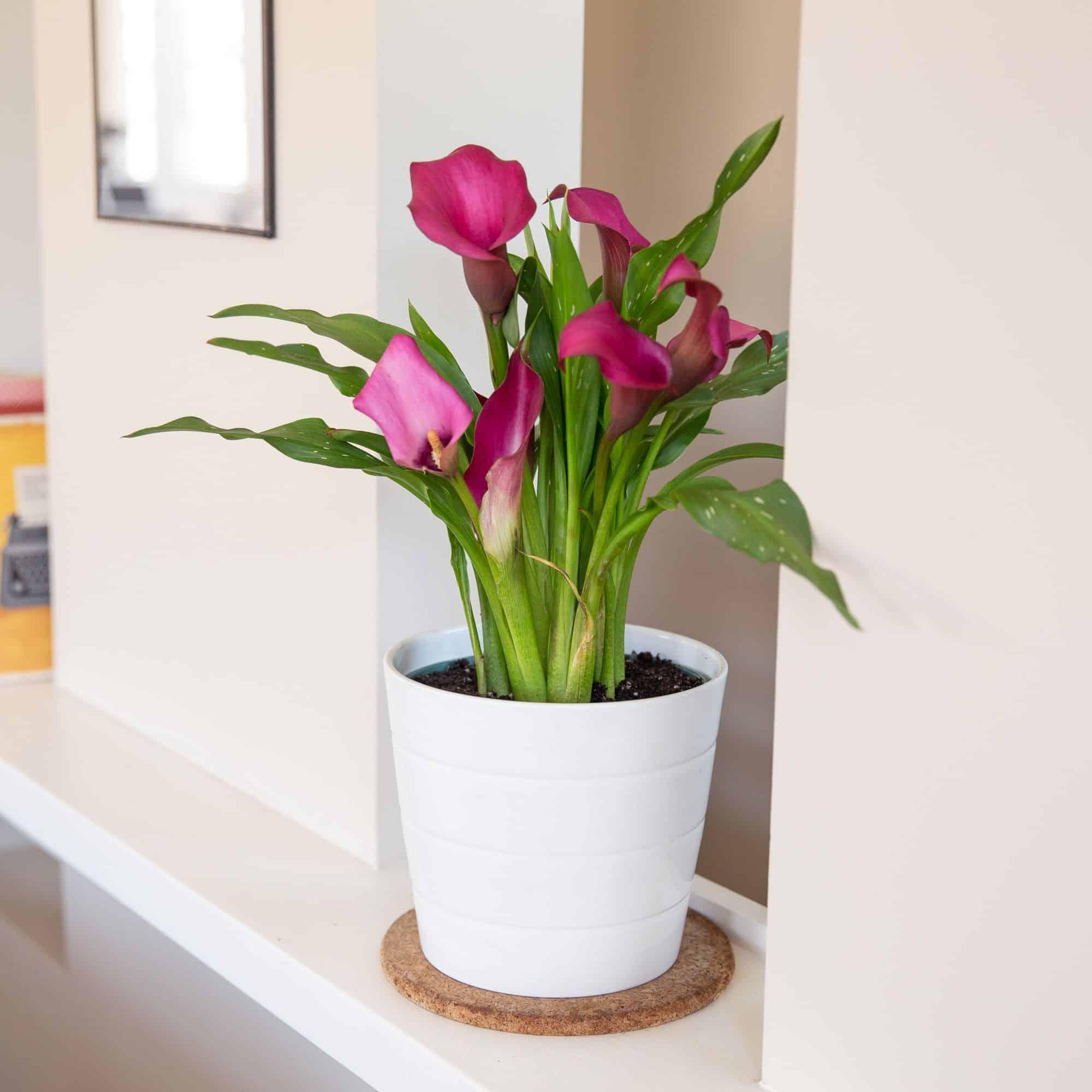 grow-calla-lily-indoors