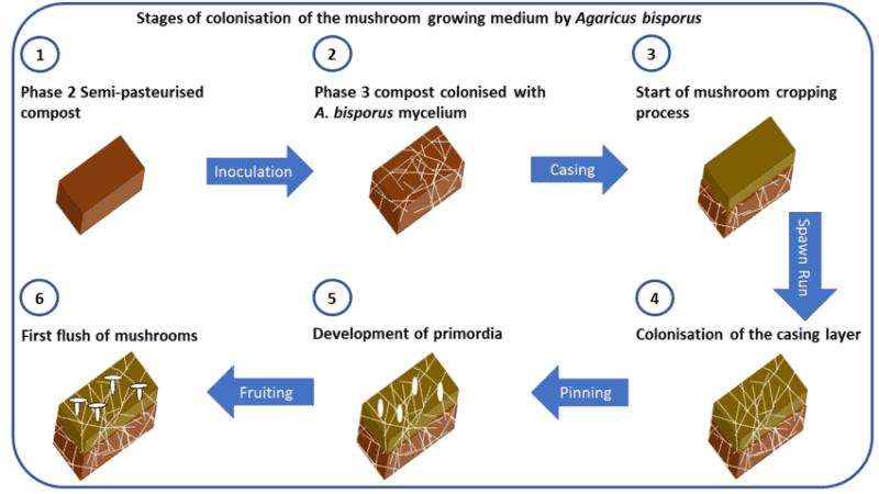 steam pasteurization method to grow mushroom bed