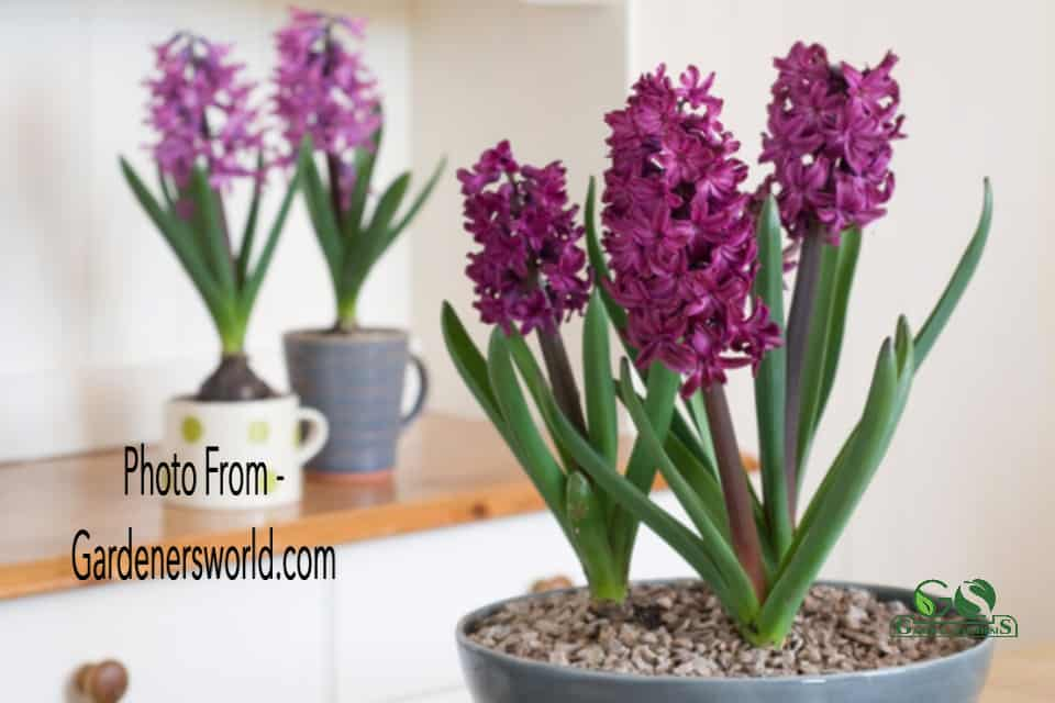 How to grow hyacinths in a pot indoors