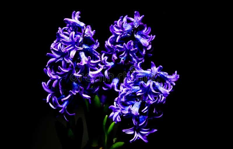 Hyacinths with artificial light