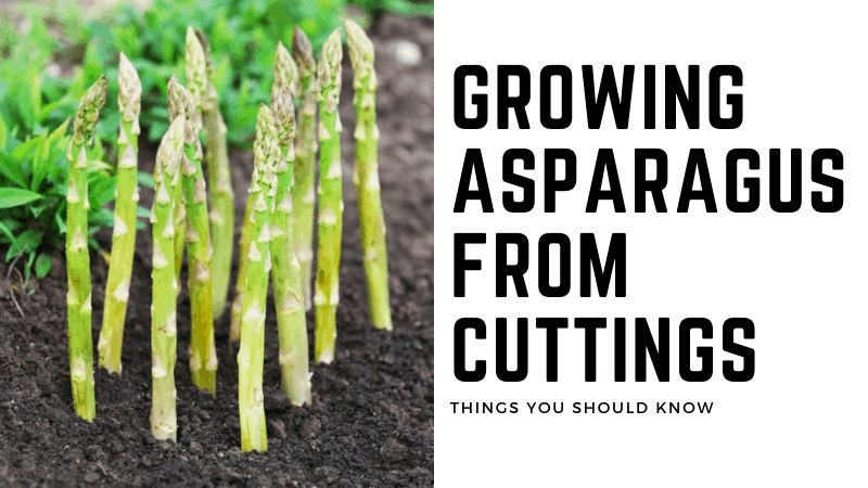 Can You Grow Asparagus From Cuttings?