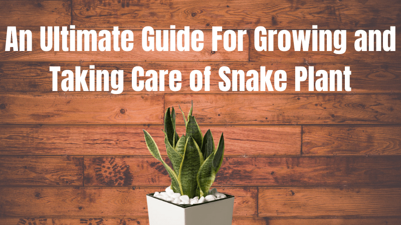 How To Grow A Snake Plant And Snake Plant Care