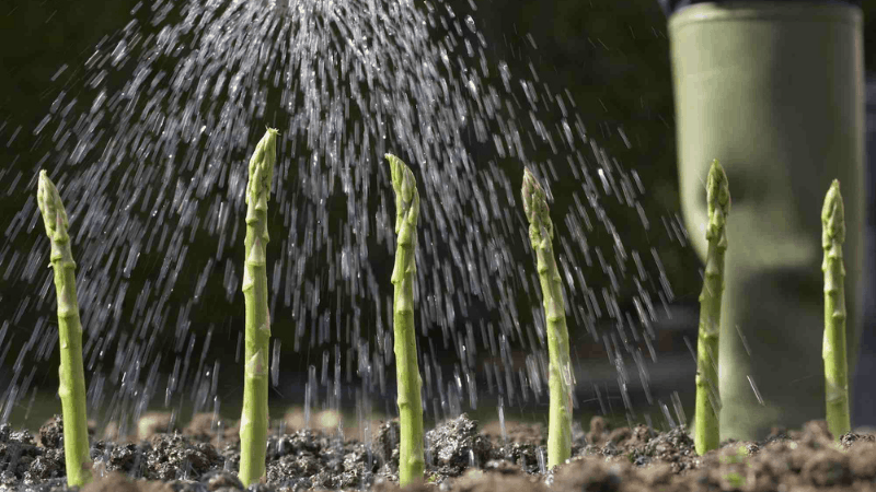How often Should I Water My Asparagus?