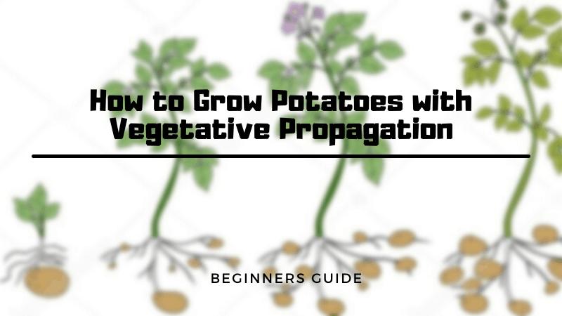 How to Grow Potatoes with Vegetative Propagation