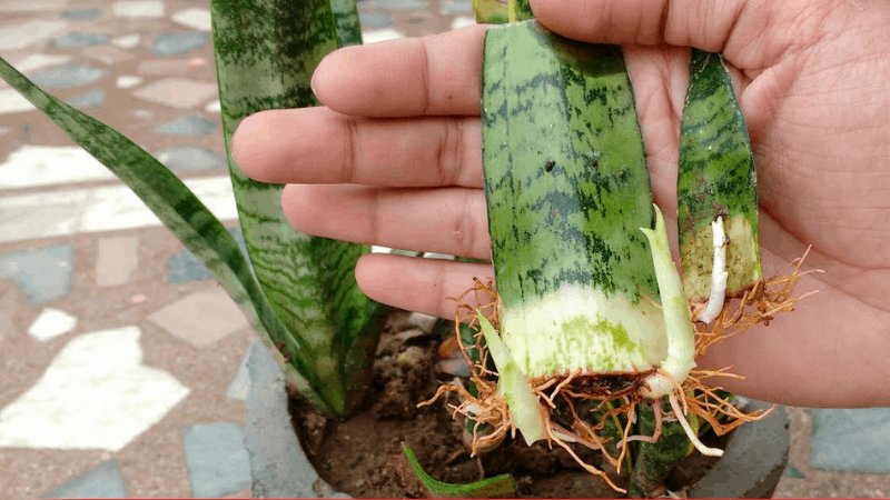 How to grow snake plant from cutting