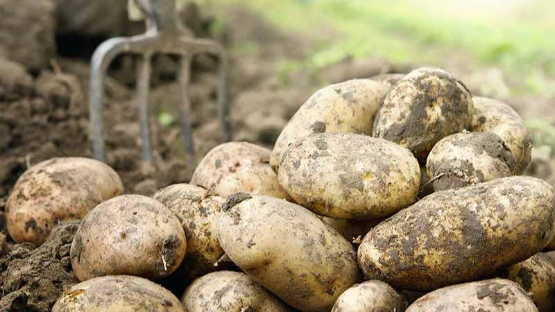 Late-season Varieties of potato