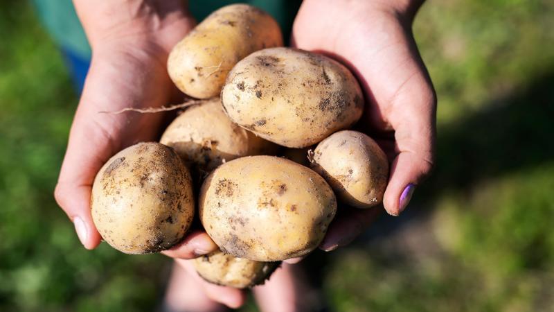 Mid-season Varieties of potatoes