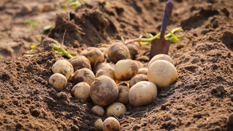 Potato planting time and instructions