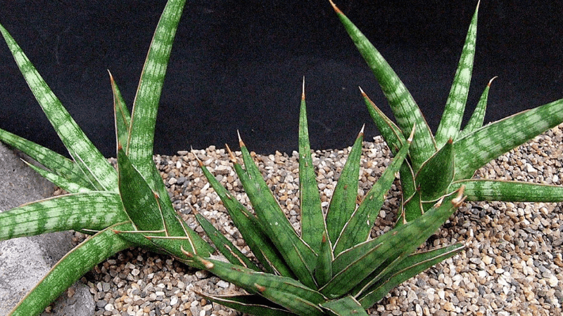 Sansevieria Gracilis - Types of Snake Plants