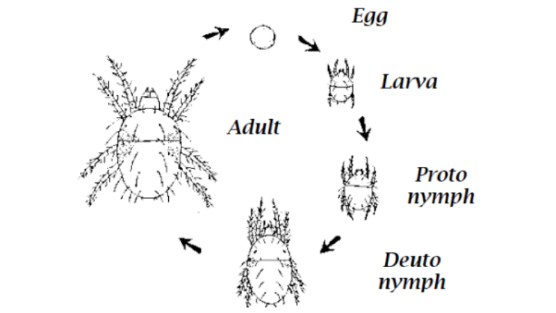 Spider Mite Lifespan