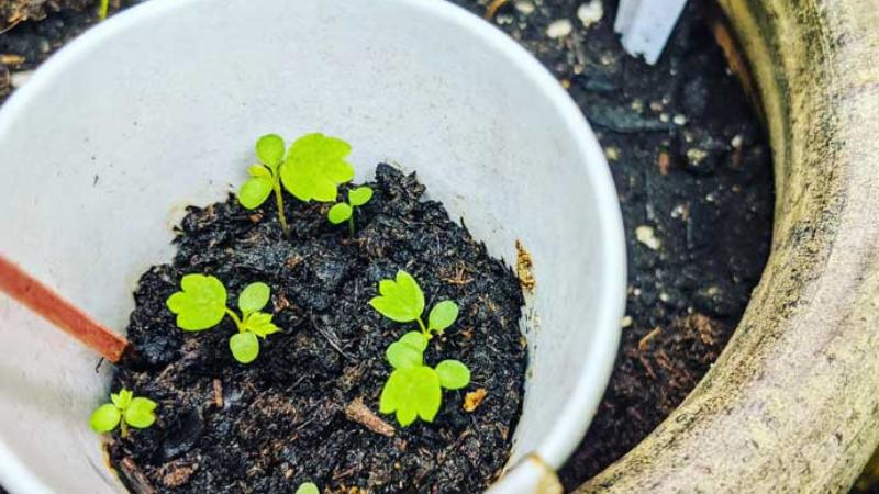 Step 4 - Planting Seeds on Pot strawberries