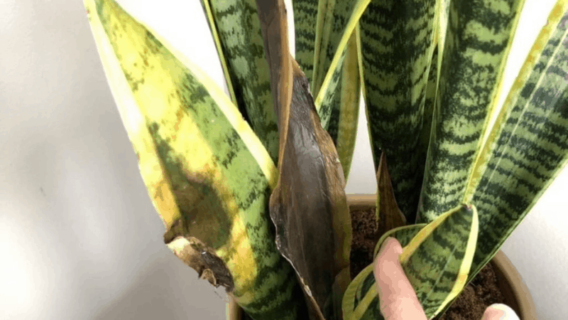 Why My Snake Plants are Having Soggy Leaves