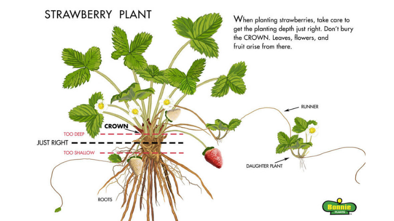 step 2 - choosing the right spot to grow strawberries