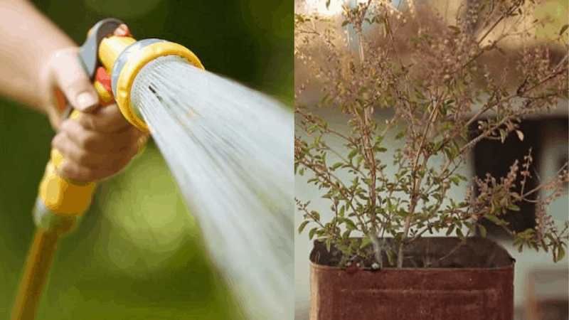 Applying Pesticide to a Tulsi Plant
