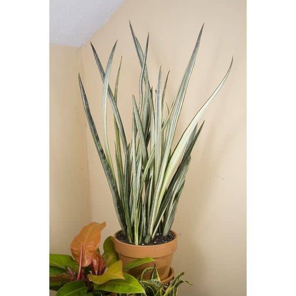 Bantel's Sensation Snake plant