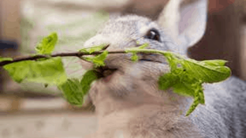 Can Rabbits Eat Tulsi - Is Tulsi Good for Rabbits