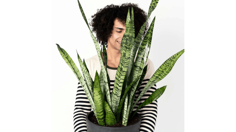 Can Snake Plants Actually be The Solution of Air Filtration