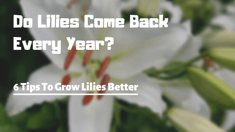 Do Lilies Come Back Every Year - 6 Tips To Grow Lilies Better