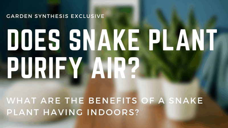 Does Snake Plant Purify Air - What Are The Benefits of Snake Plant