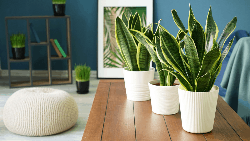 Does Snake Plant Purify Air