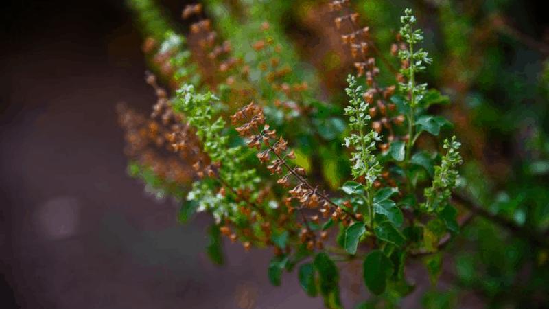 Does Tulshi Plant Produce oxygen at night