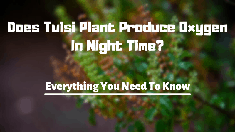 Does Tulsi Plant Produce Oxygen In Night Time - Why Tulsi Plant Produce Oxygen In Night Time