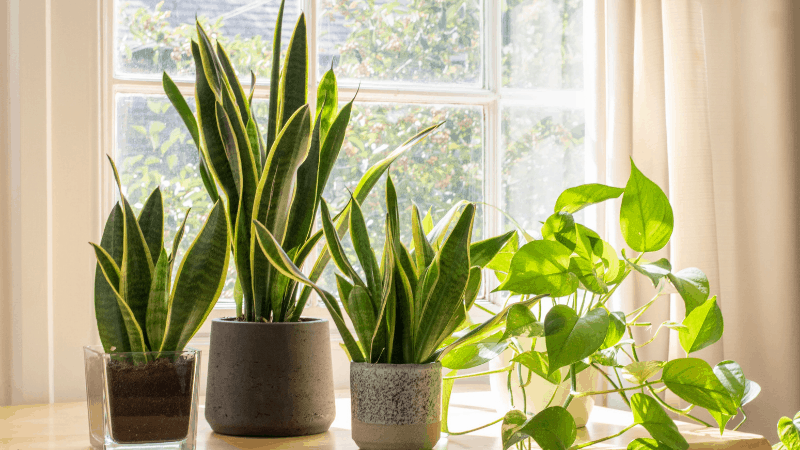 How Can Snake Plants Purify Your Indoor Air