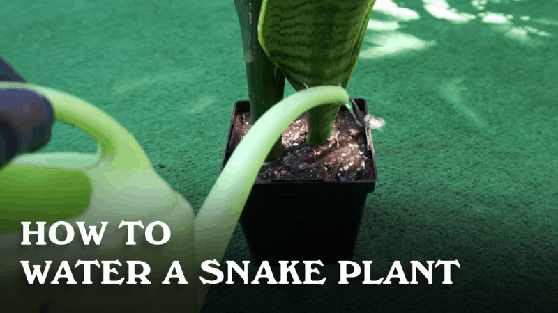 How To Water Your Snake Plant