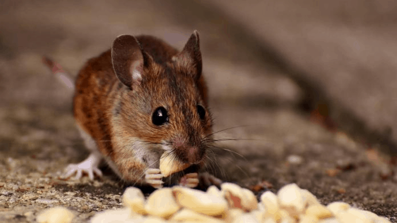 Is Penkoted Grass Seed Toxic to Mice?