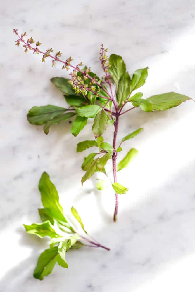 Stem of the Tulsi Plant - How to revive a dead tulsi plant