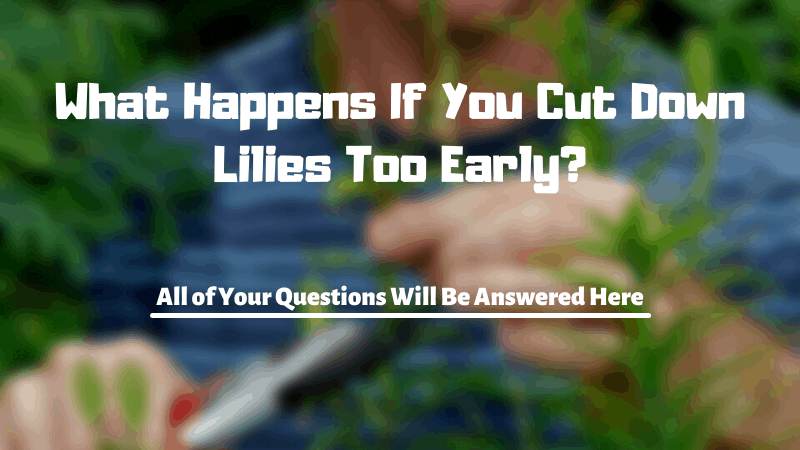 What Happens If You Cut Down Lilies Too Early?