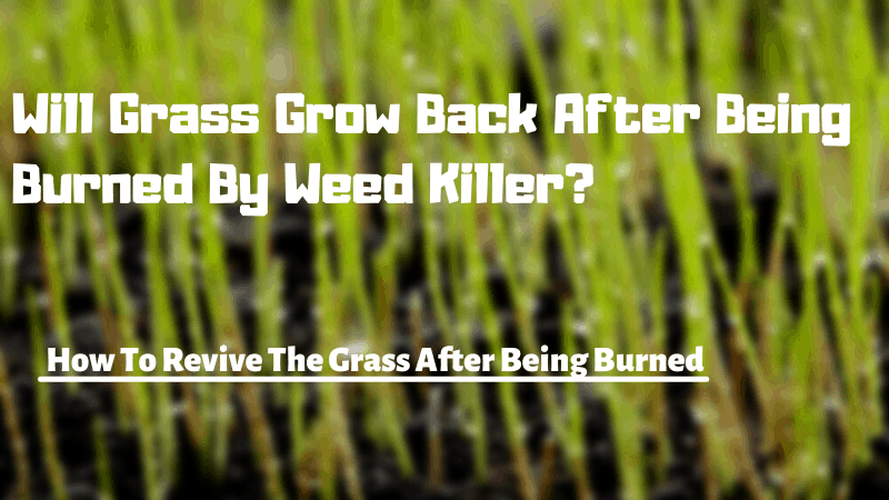 Will Grass Grow Back After Being Burned By Weed Killer - How To Grow Grass After Being Burned By Weed Killers