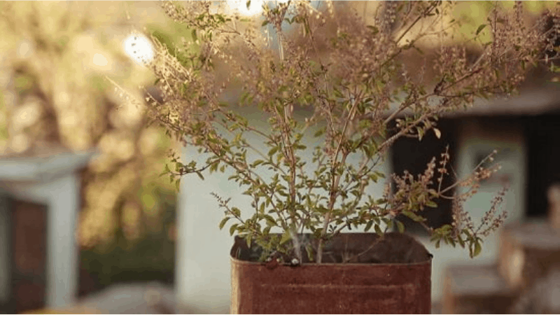why does tulsi plant die in winter