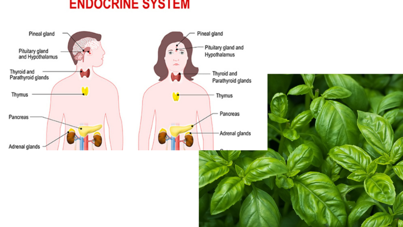 Basil Can Increases Reproductive Hormones