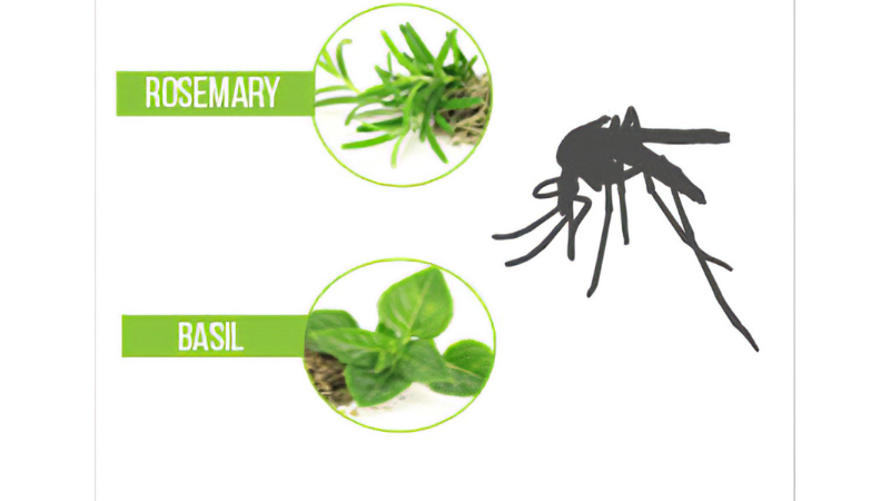 Basil Can be Used as an Insect Repellent