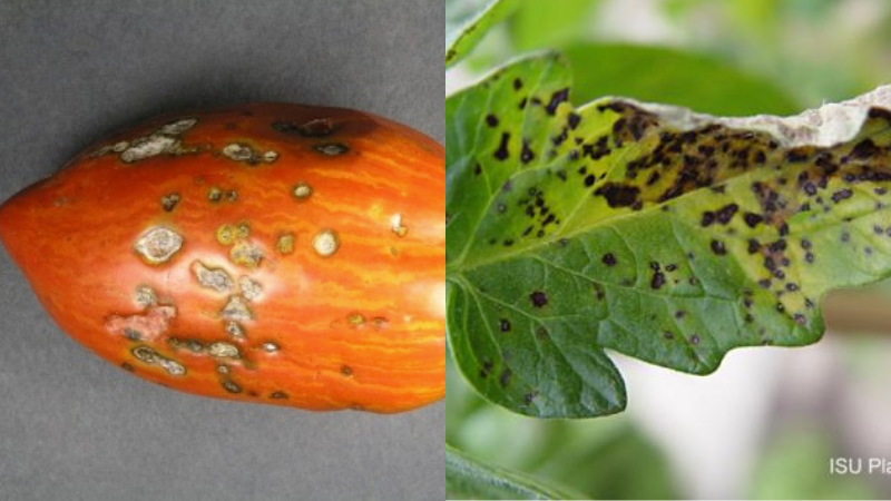 Can You Eat Tomatoes With Septoria Leaf Spot