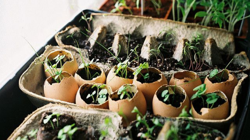 Can You Start Tomato Seeds In Egg Cartons?