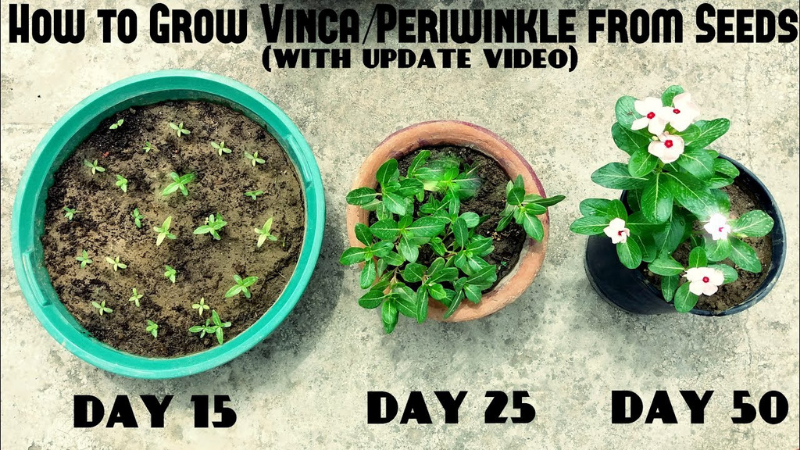 How To Cultivate Periwinkle Or Vinca Minor?